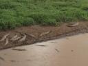 Alligators - Jaco, Costa Rica